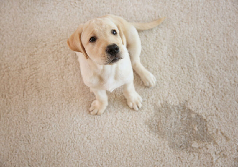puppy on urine stained carpet